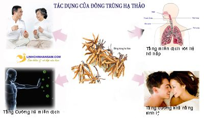 Đông trùng hạ thảo chữa bệnh gì