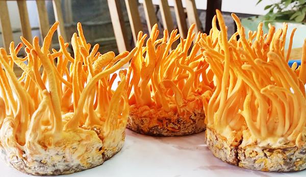 Các loại đông trùng hạ thảo trên thị trường Việt Nam