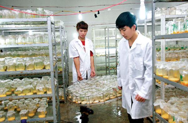 Viện bảo vệ thực vật cung cấp giống đông trùng hạ thảo chất lượng nhất