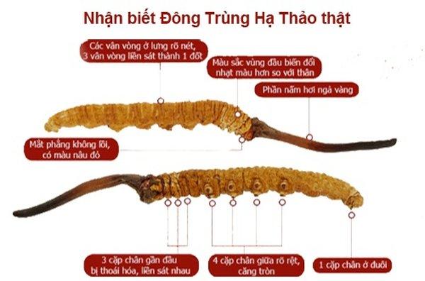cach-phan-biet-dong-trung-ha-thao-that-gia-2