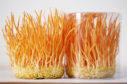 Trồng Đông trùng hạ thảo sinh khối khô
