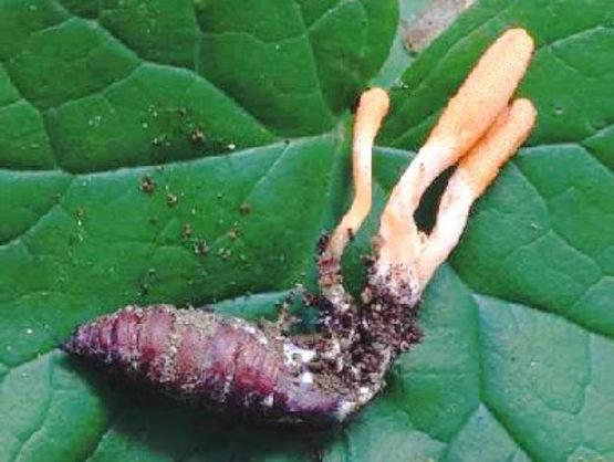 Đông trùng hạ thảo là cây hay con