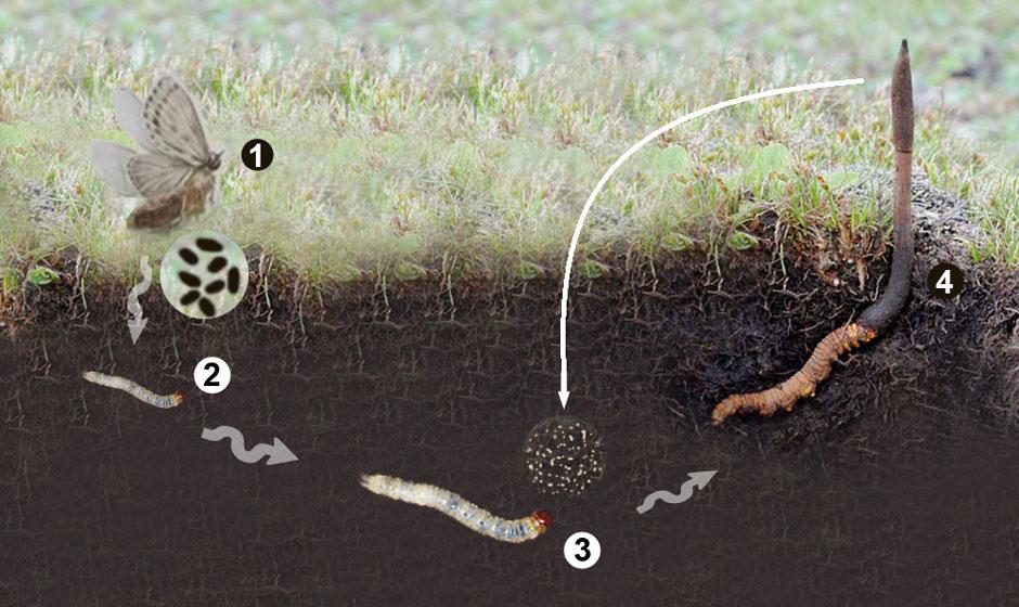 Vòng đời của đông trùng hạ thảo