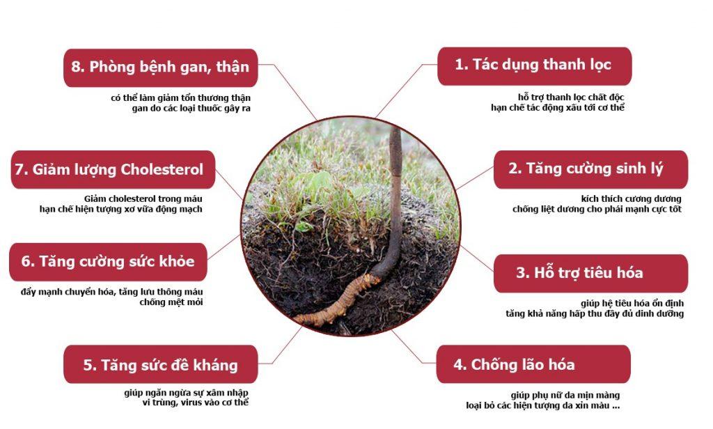 Tác dụng của đông trùng hạ thảo việt nam