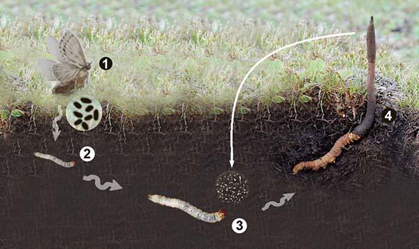 Môi trường phát triển của đông trùng hạ thảo