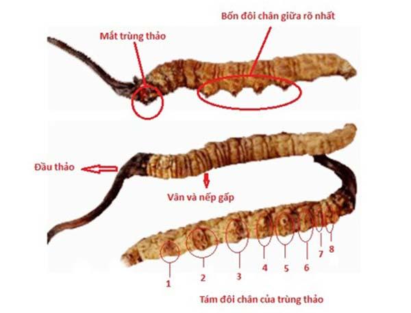 Một số các công dụng của đông trùng hạ thảo