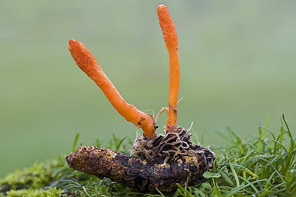 Đông trùng hạ thảo từ ve sầu sống ở đâu