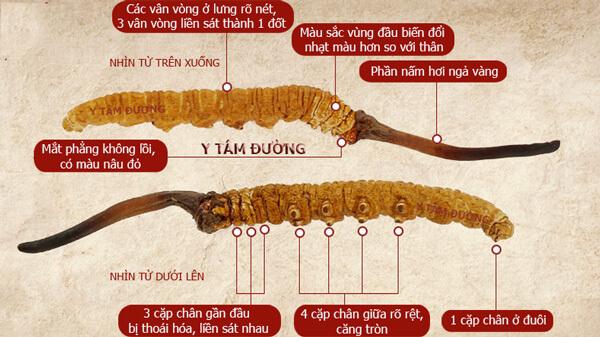 Hình ảnh đông trùng hạ thảo kí sinh vật chủ ấu trùng sâu bướm