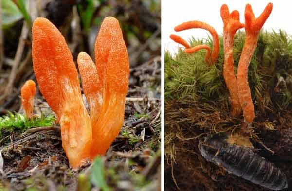 hình ảnh hoa đông trùng hạ thảo trong tự nhiên