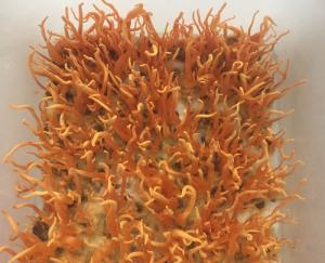 Đông trùng hạ thảo nhộng tằm