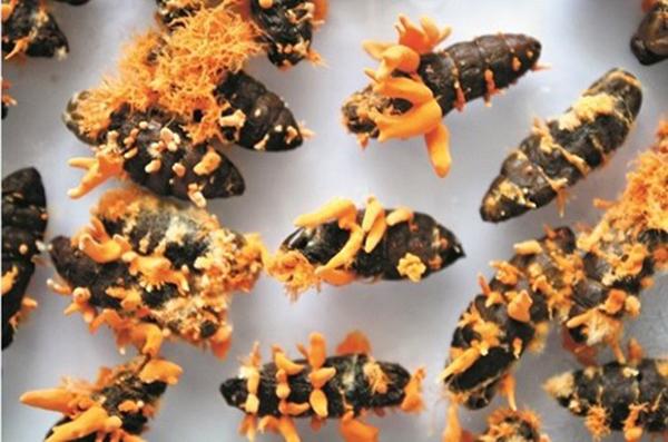 Nấm đông trùng hạ thảo Việt Nam trên ký chủ